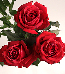 Red Paris Roses